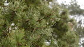 Raindrops kapią przez sosnowych gałąź wczesnej wiosny zbiory