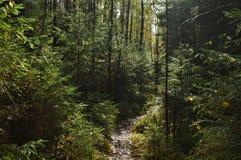 Raindrops kapie od drzew w lesie zdjęcia stock