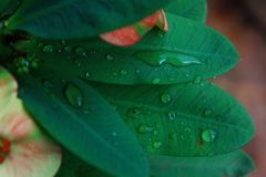 Raindrops on large leaves in a beautiful tropical garden. After a tropical rainstorm Stock Photo