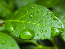 Raindrops on a leaf. Raindrops collected on a single leaf Royalty Free Stock Photos