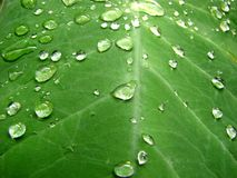 Raindrops on Leaf. Macro photo of fresh raindrops on large leaf, great for backgrounds Royalty Free Stock Image