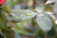 Raindrops on the Leaf. Raindrops on the green leaf Royalty Free Stock Photo