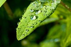 Raindrops on leaf. Raindrops on a leaf of Kamschatka berry Stock Images
