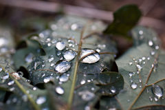 Raindrops on Leaf. Raindrops on a leaf, Helderberg Nature Reserve, South Africa royalty free stock image