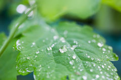 Raindrops on a leaf. Close-up macro Royalty Free Stock Images