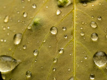Raindrops on leaf closeup. Closeup of yellow leaf showing veins and raindrops Royalty Free Stock Photography