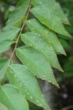 Raindrops on leaf. Raindrops on fresh green Kanter leaf Royalty Free Stock Photos