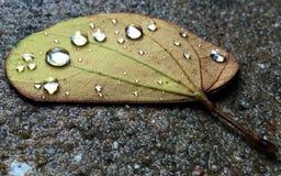 Raindrops on a leaf. Raindrops gather on a fallen leaf after a rainstorm Stock Photos