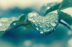 Raindrops on a leaf. Vintage rose leaf raindrops macro Stock Photos