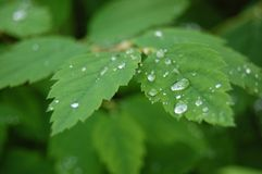 Raindrops on leaves. Small raindrops on green leaves Royalty Free Stock Photos