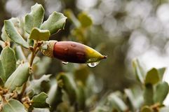 Raindrops on leaves of acorns plants