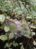 Raindrops on leaves and cobwebs royalty free stock photography
