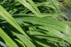 Raindrops. On the leaves of daylily Stock Photography