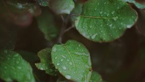 Raindrops on leaves and flowers. Rain. Rain drops on leaves, bushes and grapes stock footage