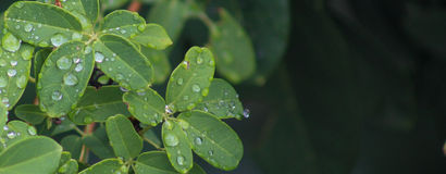 Raindrops on leaves Royalty Free Stock Images