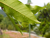 Raindrops on leaves Stock Images