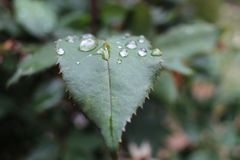 Raindrops on leaves. Raindrops on the rose bush leaves Royalty Free Stock Images