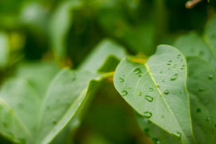 Raindrops on Leaves. Summer raindrops pool on new leaves in the afternoon Stock Photo