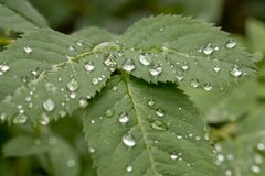 Raindrops on leaves royalty free stock photos