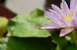 Raindrops on lotus petal on water in rainy day Royalty Free Stock Photo