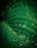 Raindrops. Macro raindrops on lush green foliage Royalty Free Stock Photo