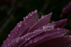 Raindrops on magnolia Stock Photos