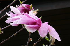 Raindrops on magnolia Royalty Free Stock Image