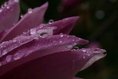 Raindrops on magnolia Royalty Free Stock Photo