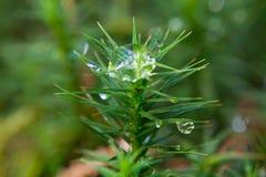 Raindrops on moss Royalty Free Stock Image