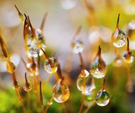 Raindrops on moss Royalty Free Stock Photo