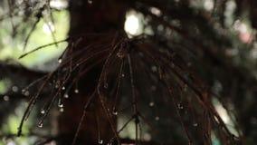 Raindrops na Świerkowych gałąź zdjęcie wideo
