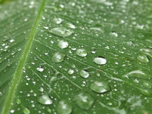 Raindrops na Bananowym liściu Obrazy Stock