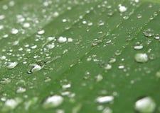 Raindrops na Bananowym liściu Zdjęcie Stock