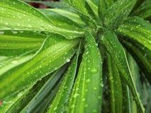 Raindrops na Dracaena Reflexa Fotografia Stock