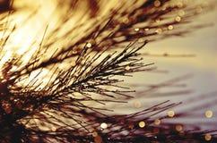 Raindrops na kazuaryna liściach obraz royalty free