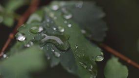 Raindrops na liściach drzewa Makro- obiektyw zdjęcie wideo