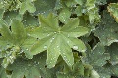 Raindrops na liściach ladysalopa zdjęcia stock