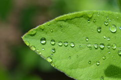 raindrops na liściu Fotografia Royalty Free