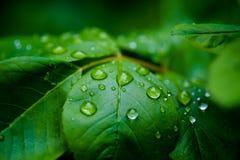 Raindrops na liściu Zdjęcie Royalty Free