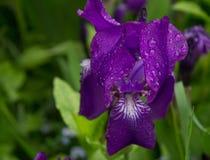 Raindrops na purpurowym kwiacie Zdjęcia Royalty Free
