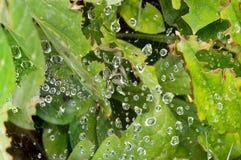 Raindrops na sieci z Jasnozielonymi liśćmi Obraz Royalty Free