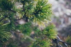 Raindrops na sosny gałąź Fotografia Royalty Free