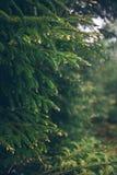 Raindrops na zielonej jedliny gałąź Fotografia Stock