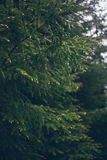 Raindrops na zielonej jedliny gałąź Lato deszcz Zdjęcia Royalty Free