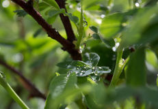 Raindrops na zielonym lata ulistnieniu Obrazy Royalty Free