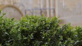 Raindrops nalewaj? na zielonym krzaku boxwood zbiory