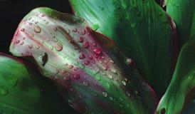 Raindrops Nduna Zimbabwe Africa. Raindrops on leaves in Zimbabwe, Africa stock photos