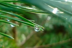 Rain drops on pine needles stock image