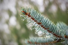 Free Raindrops On A Branch Of Blue Spruce Stock Images - 127044464