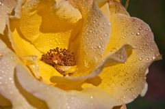 Raindrops on an Opened Yellow Rose Royalty Free Stock Photo